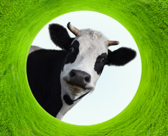 meet-our-cows.png